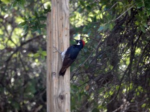 Acorn woodpecker at the Santa Rita Lodge feeders. Photo from previous day trip.