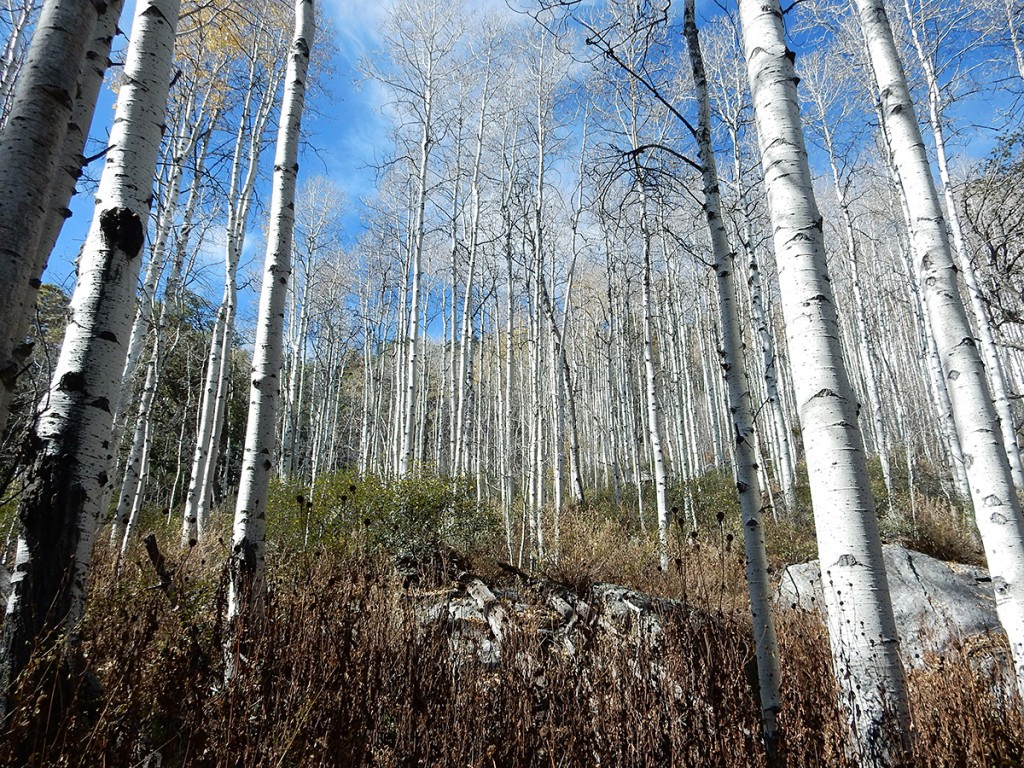 Aspen grove at Spud Rock Spring.